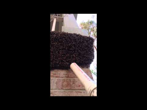 How to remove a Swarm of Honey Bees