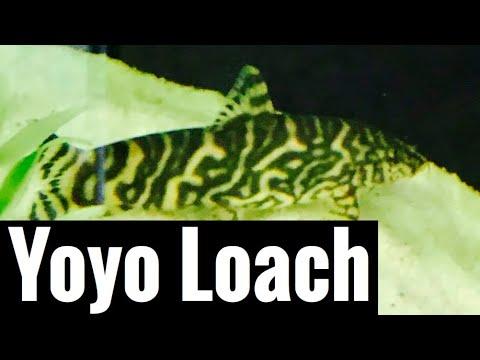 Yoyo Loach Care - Tank Mates other Bottom Feeders?