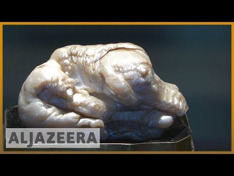 🇳🇱 World's largest freshwater pearl put up for Dutch auction | Al Jazeera English