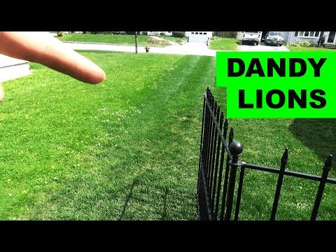 How to kill dandelions in the lawn