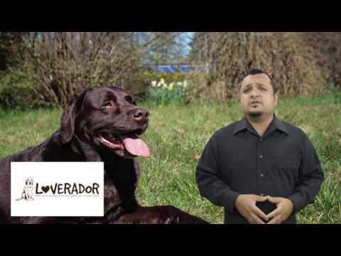 How Do You Care for a Pregnant Labrador Retriever?