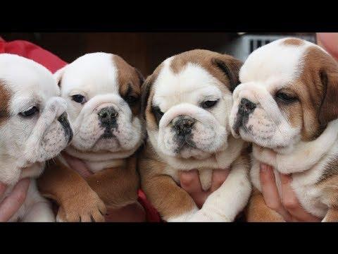 Facts About English Bulldog Puppies