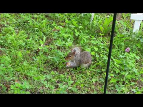 Baby squirrel eating bread
