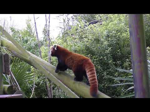 good Red Panda eats bamboo at Colchester Zoo 3feb18 254p