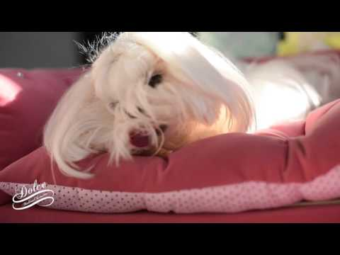 GROOMING: Maltese Face Grooming Dolce How to clean a Maltese Face 말티즈미용 Emma Lee Cello