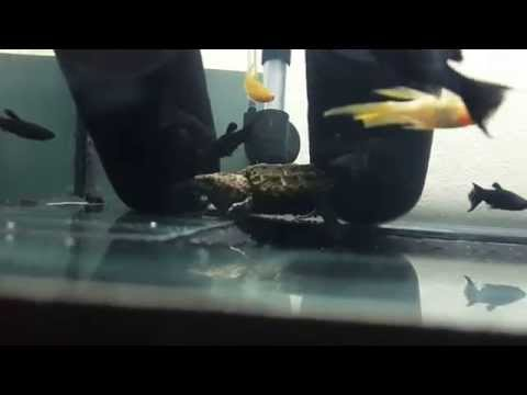 Baby alligator snapping turtle catches fish