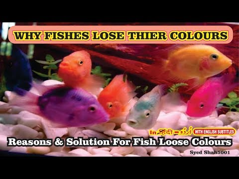 Why Are Fish Losing Color?How to get  your Fishes to colour up fast and easy way