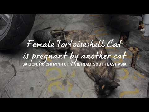 Female Tortoiseshell cat is pregnant by another cat - Cat pet video compilation 2018