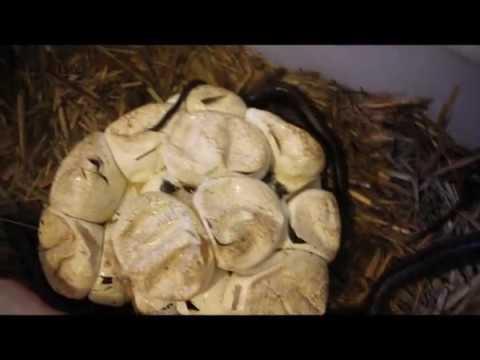 Carpet Python Eggs Hatching. February 2017. Snake Out! Brisbane Snake Catchers
