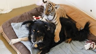 Blakely the Dog Is Now a Tiger Cub Nanny