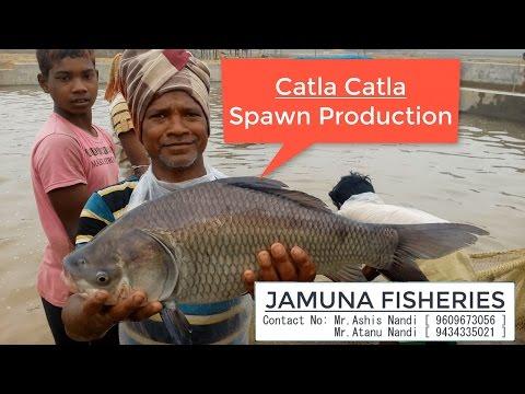 Catla Fish [ Catla catla ] Spawn Production  [ JAMUNA FISHERY in Ramsagar, West Bengal ,India]