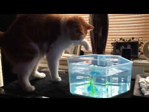 Happy Cat Barnaby Playing With His Robot Fish - Happy House Cats