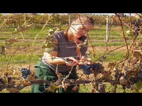 2016 Michigan Wine Grape Prices