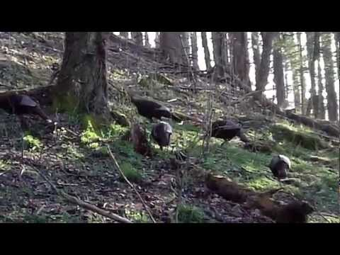 Tennessee Turkey calls another gobbler