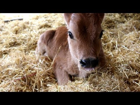 The calf is doing much better!