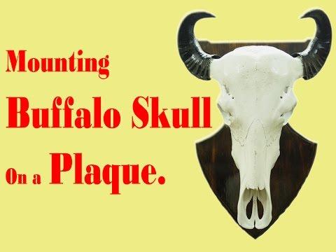 Mounting Buffalo Skull On Plaque ---- Sravan Sarella