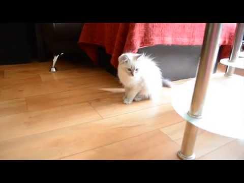 Ragdoll kitten and Cocker Spaniel getting along
