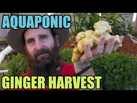 Aquaponic Ginger Harvest & Guessing Competition
