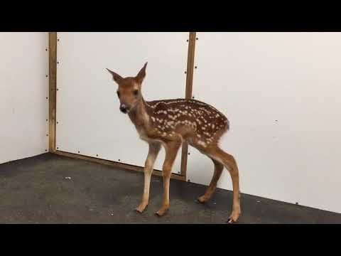 Time for a reminder - LEAVE FAWNS ALONE! (Read description)