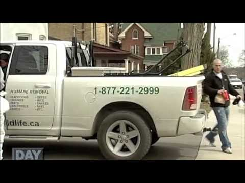 All Wildlife Removal Inc. Featured on