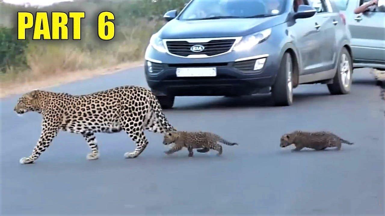 Самые невероятные встречи с дикими животными на дороге, часть 6