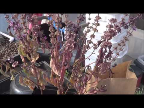 Saving Seeds - Dark Opal Basil