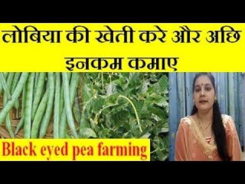 Black eyed pea (Cowpea, Lobia) farming business लोबिया की खेती करे और अछि इनकम कमाए