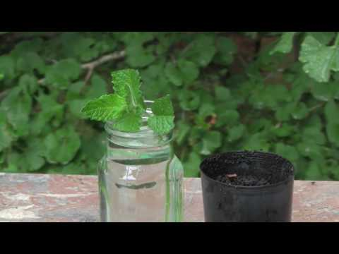 How to Propagate Mint from cuttings