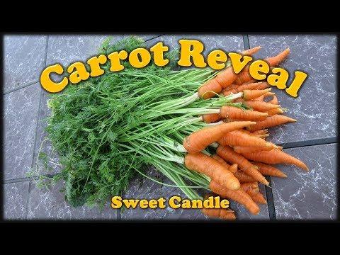 Carrot Reveal:  Harvesting