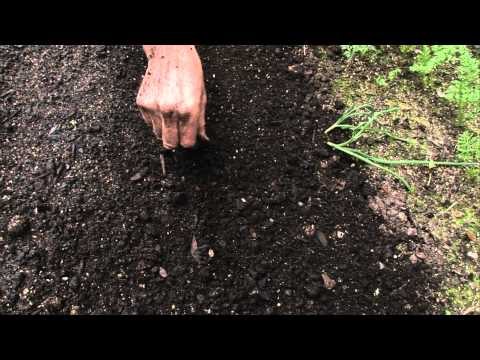 How to sow a seed directly into garden