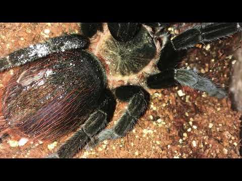 Tarantula First Aid: Abdominal bleeding