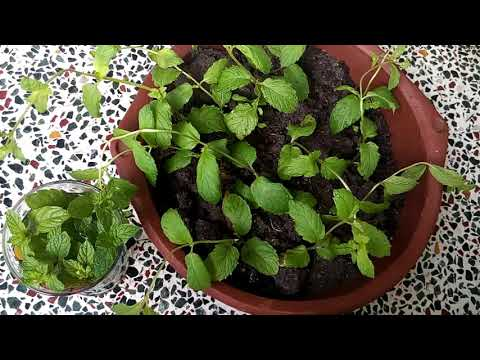 508- Easy method to quickly grow Mint/Pudina from cuttings without rooting hormone for beginners