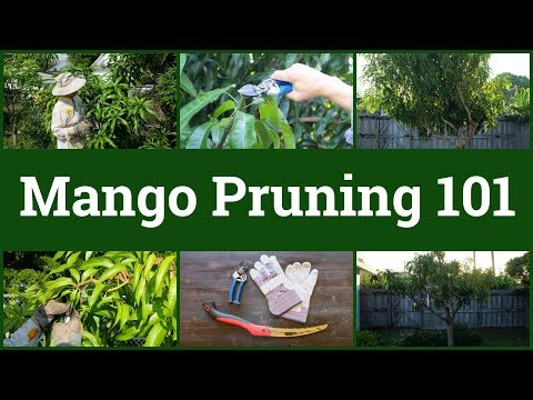 Mango Pruning 101