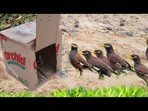 Awesome Quick Bird Trap Using Box Paper Make By Smart Girl Work 100%
