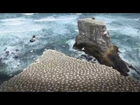A visit to the gannet colony at Muriwai, West Auckland.