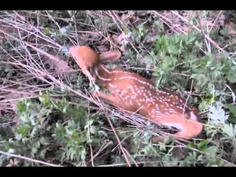 Evening of the Fawn.mp4