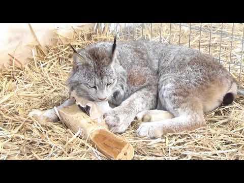 Max Canada Lynx Honeysuckle Enrichment