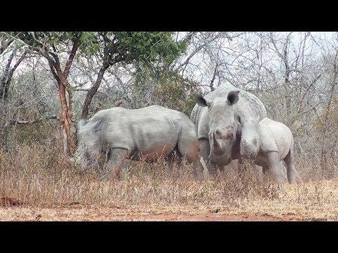 Mother Rhino Separates Fighting Siblings