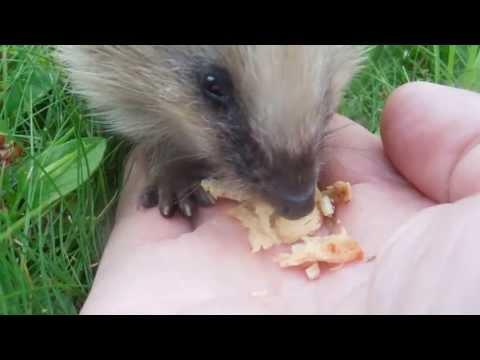 Hand feeding cute  wild hedgehog cub