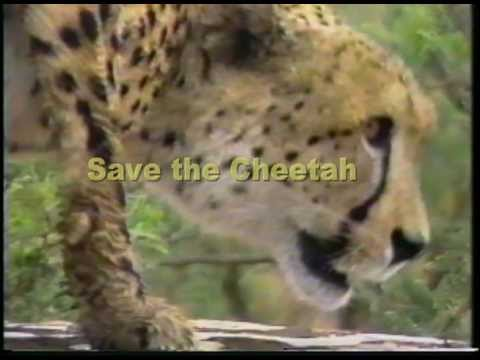 We Must Save The Cheetahs