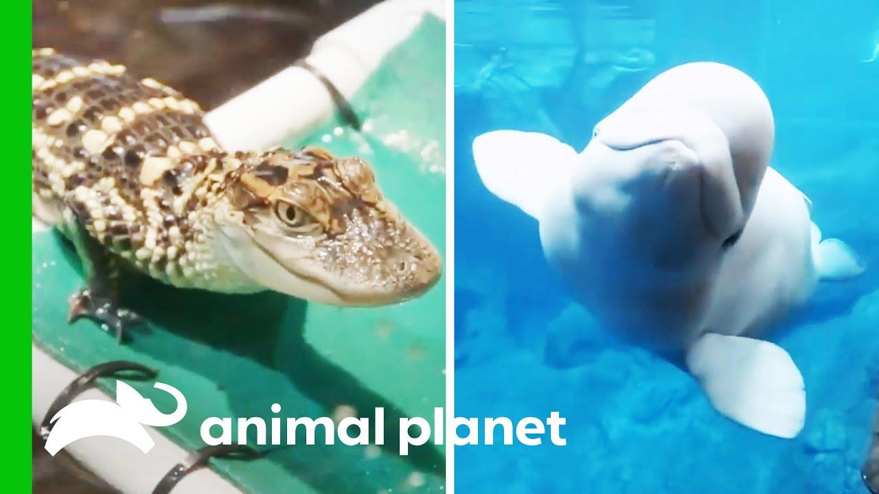 Puffin Nesting Season, Training Baby Alligators, And More!   The Aquarium   Compilation
