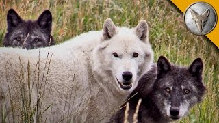 Download Wolf Pack Meets a Coyote! Video