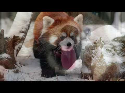 Red Panda-Endangered Species Project