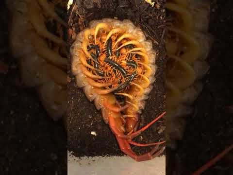 scolopendra subspinipes from  vietnam with babies