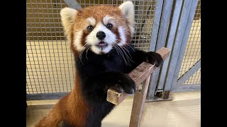 Red Panda Keeper Talk