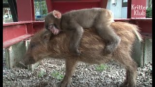 Boar Raises Monkey After Being Abandoned By Mom At Birth | Kritter Klub