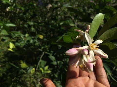 Lemon flower 🌸 woohoo 🙌🏾