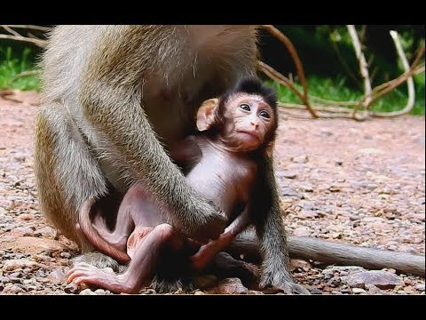 Big Strong Body Baby Monkey Still Need Milk| Young Mom Love and Take care So much.