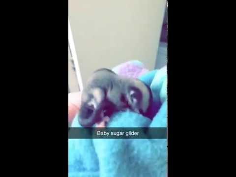 Baby Sugar Glider