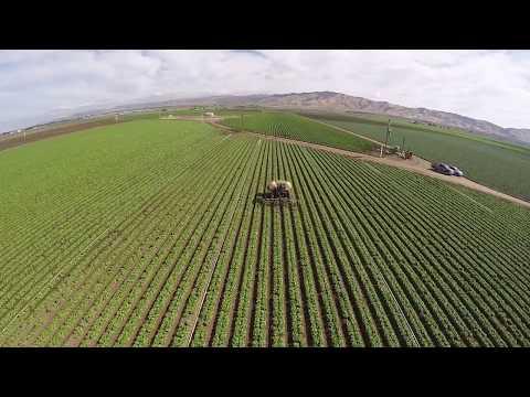 Dandy Celery Fields